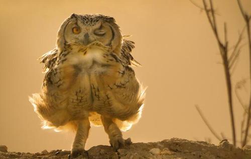 猫头鹰现迷人舞姿
