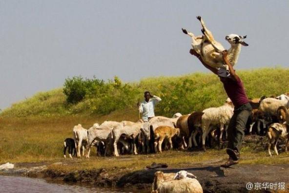 印度农民居然这样给羊洗澡:直接抱起来扔进河里 第1张图片