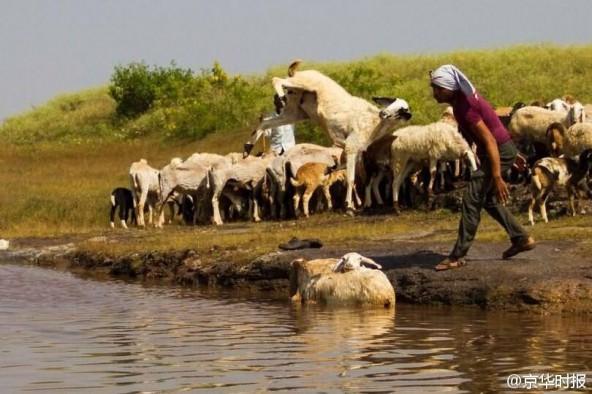 印度农民居然这样给羊洗澡:直接抱起来扔进河里 第4张图片