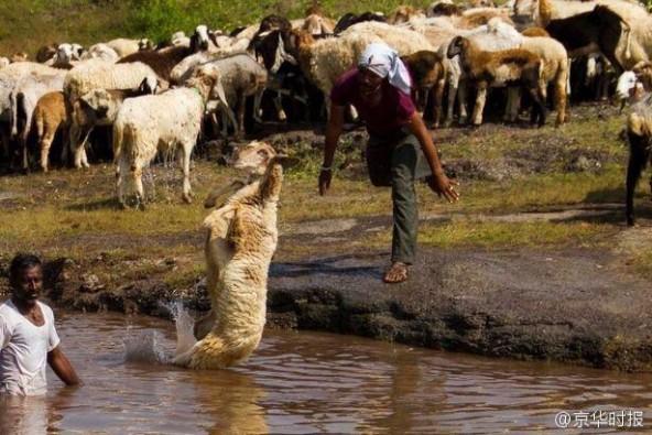 印度农民居然这样给羊洗澡:直接抱起来扔进河里 第5张图片