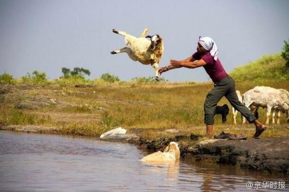 印度农民居然这样给羊洗澡:直接抱起来扔进河里 第2张图片