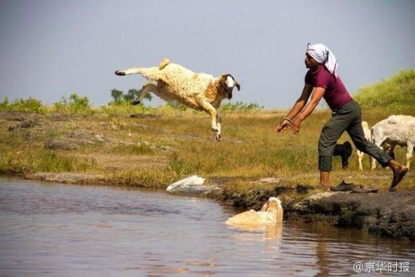 印度农民居然这样给羊洗澡:直接抱起来扔进河里 第3张图片
