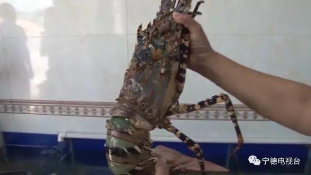 重6.6斤中华锦绣龙虾死了 买家:只愿收购活的