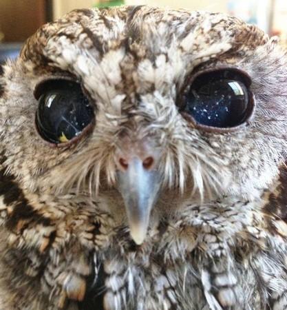 这只猫头鹰有着最美的眼睛 现实却让人心碎